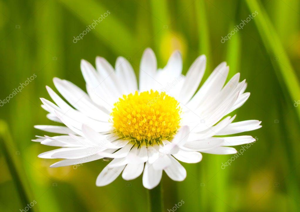Macro de fleur marguerite marguerite photographie - Image fleur marguerite ...