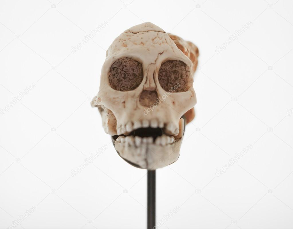 Front view of monkey skull in showcase
