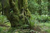 Fotografie Mossy Tree in Rainforest