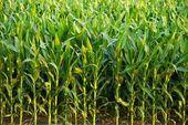 Fotografie kukuřičné pole