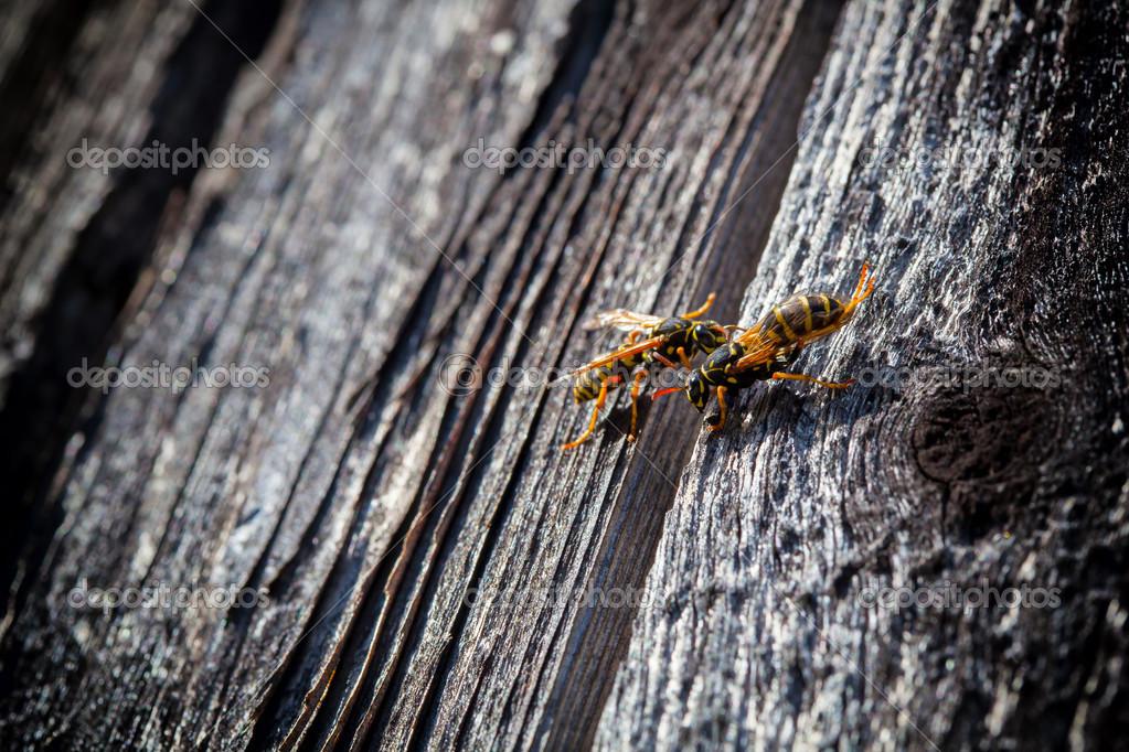 Wespen maken een nieuw nest in de muur van een oud huis u2014 stockfoto