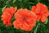 Fotografie drei rote Gartenbau Mohn closeup