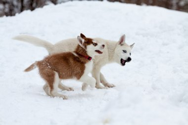 Little huskies playing in the snow