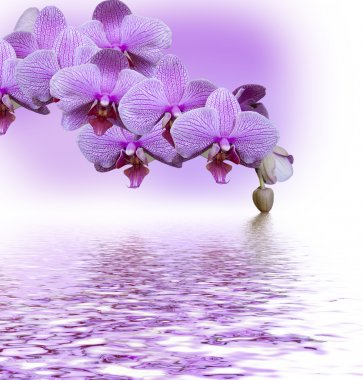 Beautiful lilac orchid