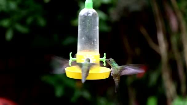 zelené hrdlo kolibřík