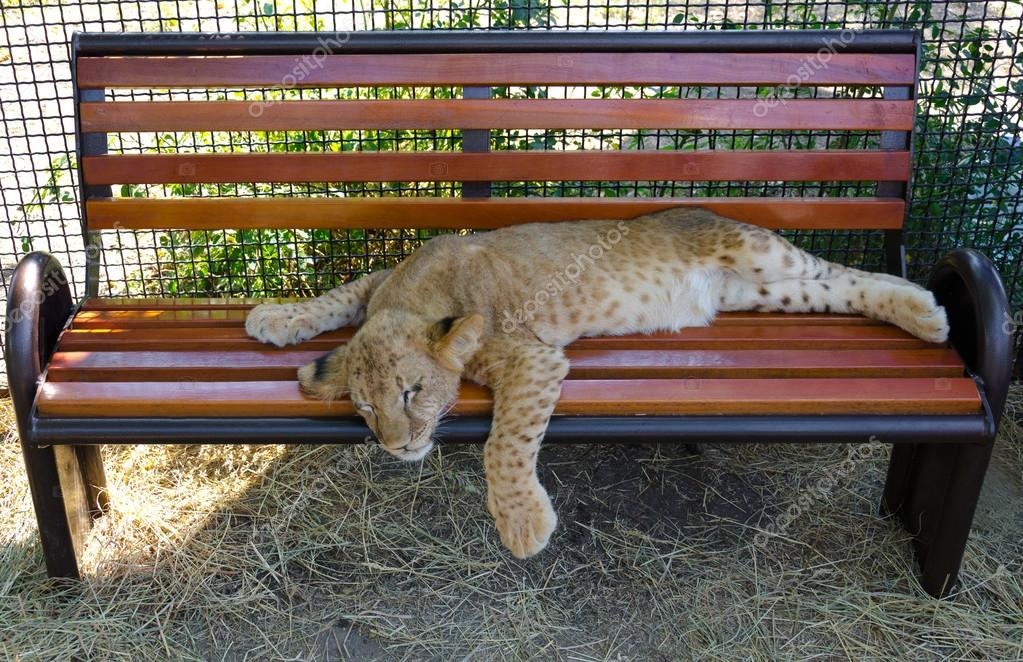 Young lion cub resting
