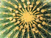 Tüskés kaktusz textúra