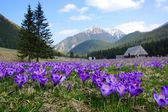 Photo Crocuses in Chocholowska valley, Tatra Mountains, Poland