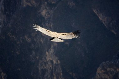 Flying condor over Colca canyon in Peru, South America.