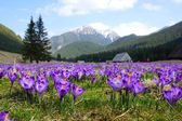 Photo Crocuses in Chocholowska valley, Tatra Mountains in Poland