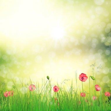 Field of poppy flowers