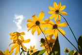 sárga virágok a nyár