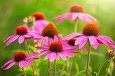 Fotografie echinacea flowers