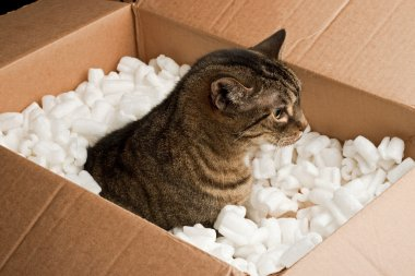 Curious cat in cardboard box of packing peanuts stock vector
