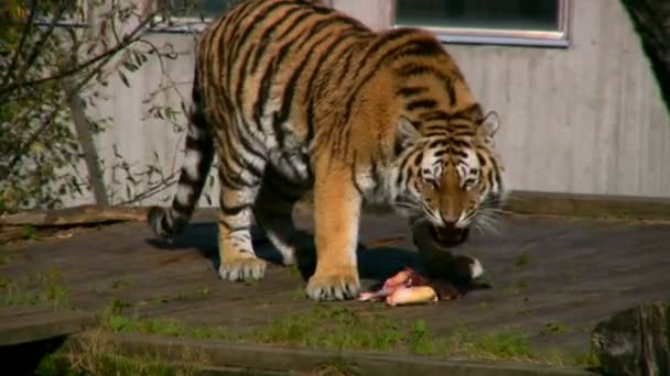 Siberian tiger eating meat in a zoo 2