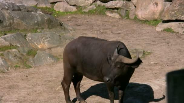 buvol africký 1