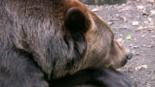 medvěd hnědý 3