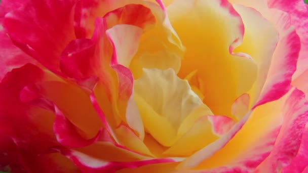 Rózsa 11