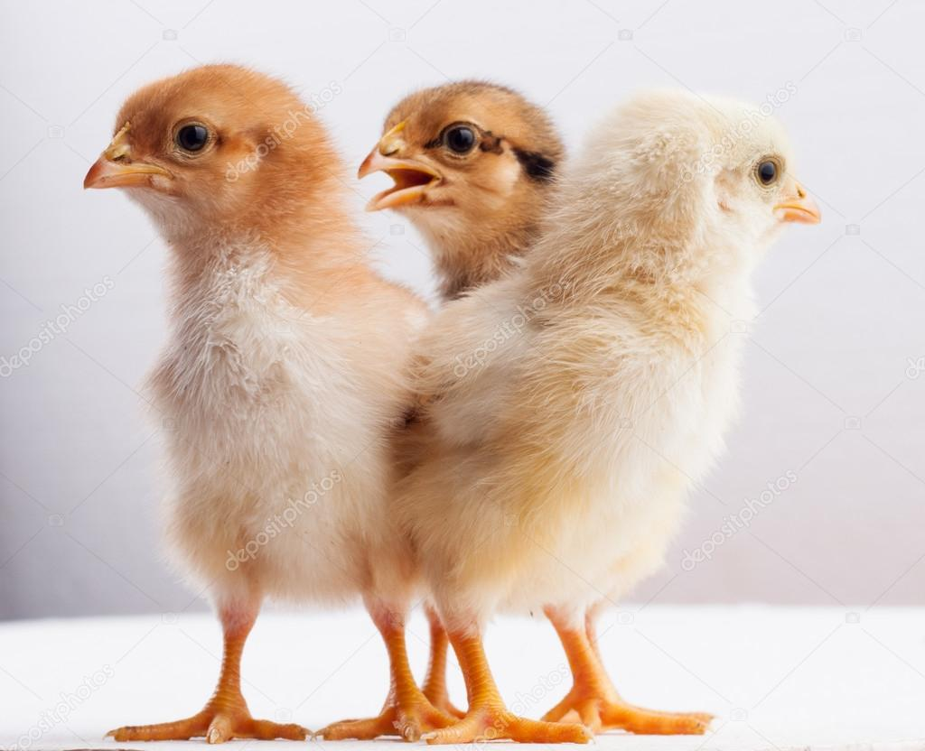 newly hatched chick stock photo h3k27 30020693