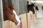 Fotografia stalloni possente cavallo nel recinto di una stalla di un maneggio sc