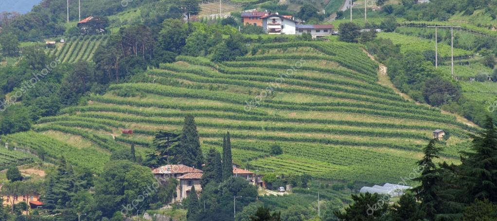 terrazzamenti per la coltivazione della vite in una collina in ...