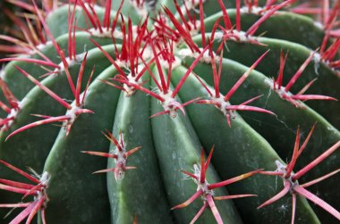 Quills and prickly cactus spines of a very dangerous succulent p