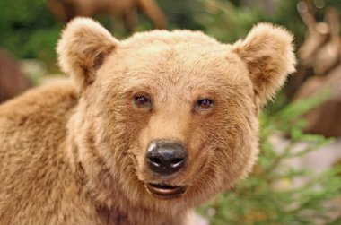 face of a brown bear in the middle of the forests