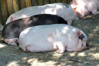Many heavy pigs lying wearily on the mud