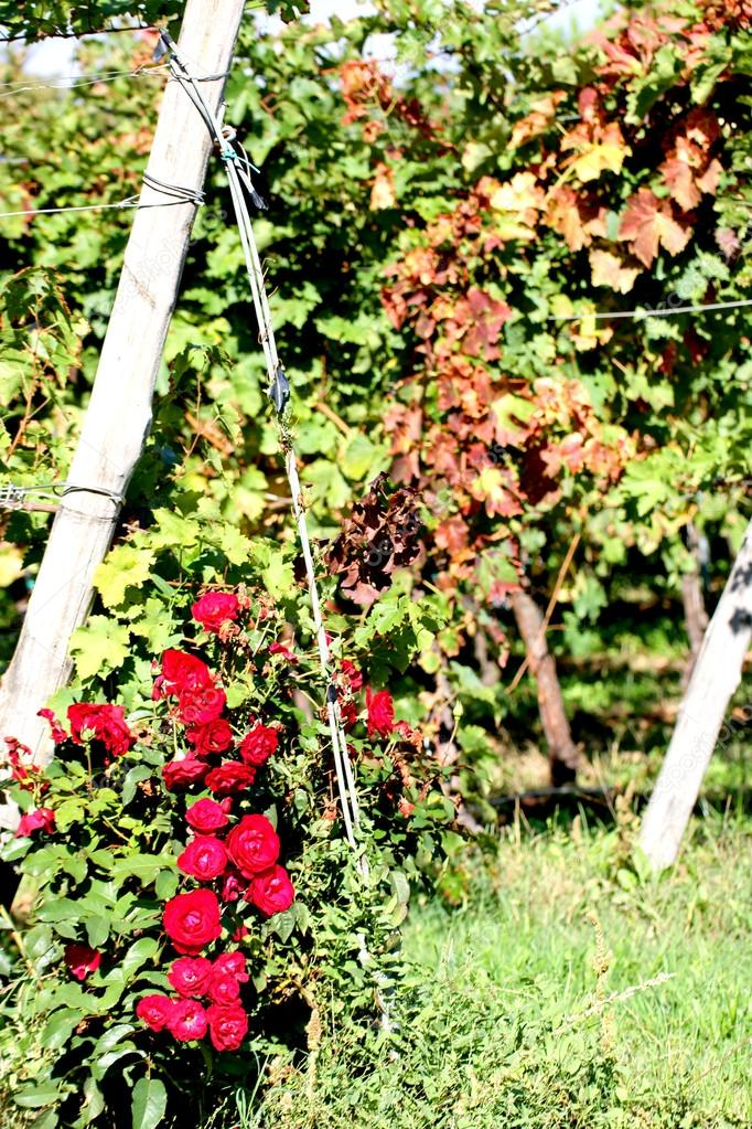 red rose's rose garden and pergolas of grapes in the vineyard
