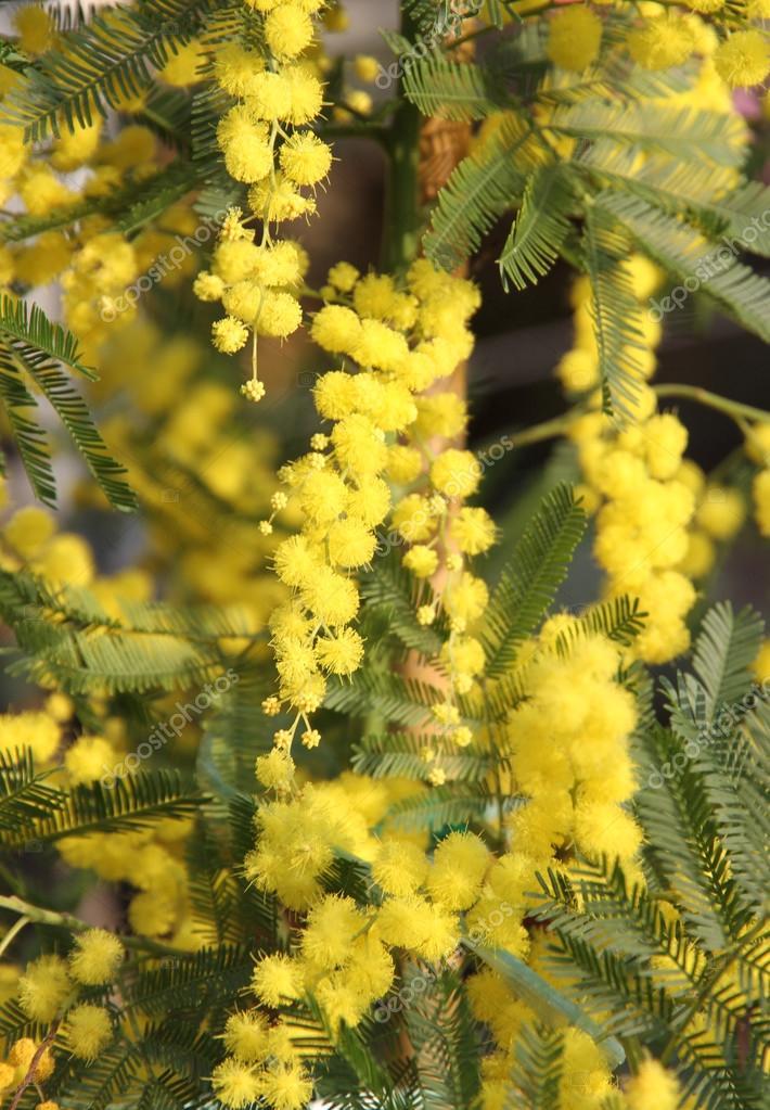 Beautiful Yellow Mimosa to give women in the international women