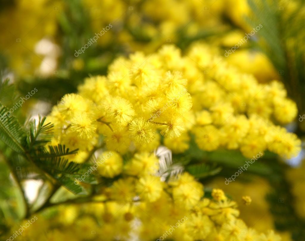 beautiful yellow mimosa in bloom