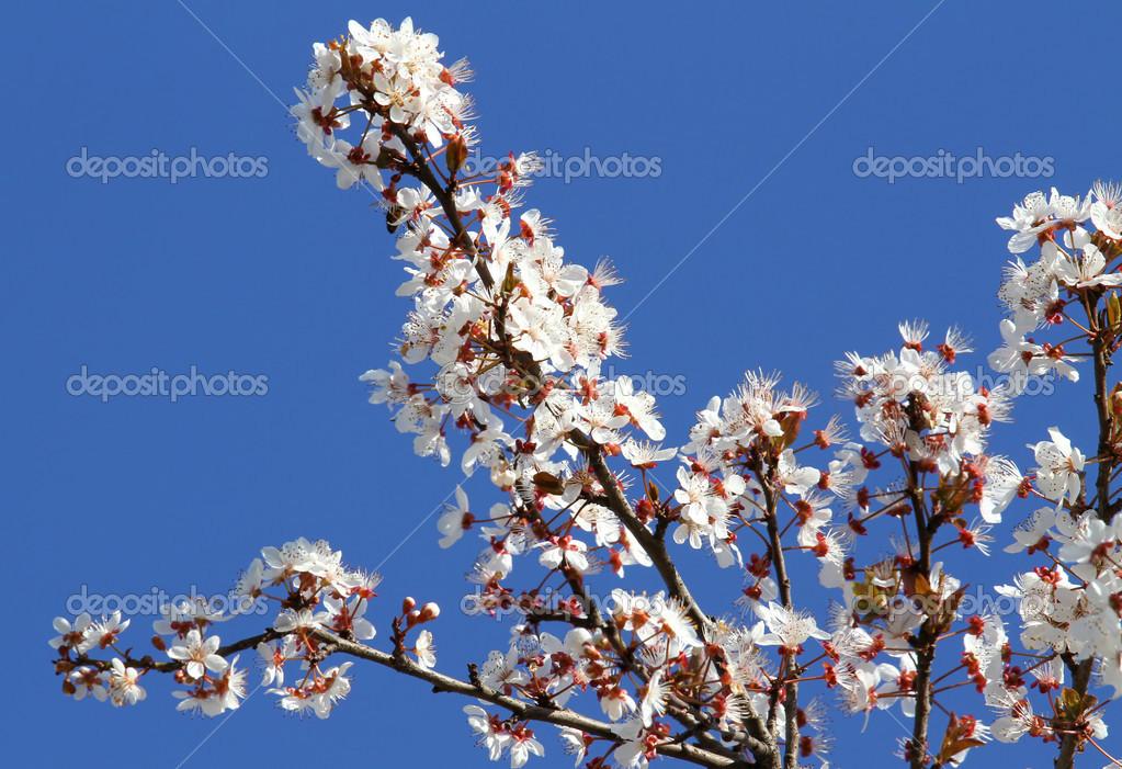weiß blühende Blumen von einem Pfirsich Baum in voller Blüte im ...