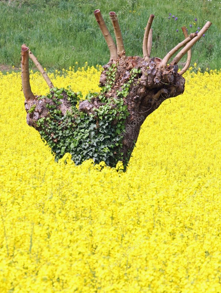 Mulberry trees pruned and yellow field of rapeseed flowers  5