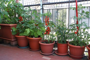 TOMATO plants on the terrace of the apartment in the city