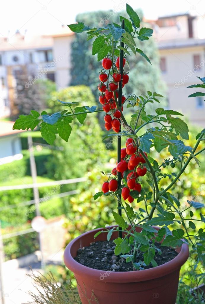Boom In Pot Op Balkon.Pot Met Cherry Type Tomaten Gegroeid Op Het Balkon Van Het Huis