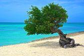 albero di aruba