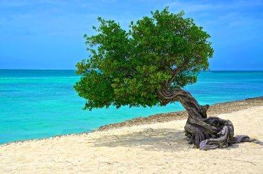 Tree of Aruba