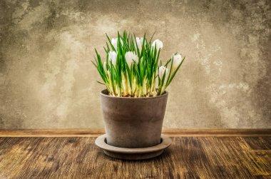 Detail of nice crocus flower in pot, vintage style
