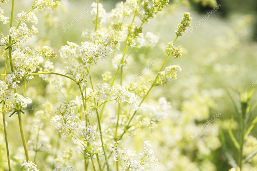 weiße blumen hintergrund — Stockfoto © destillat #40290893