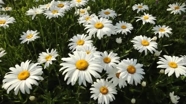 Daisy summer field