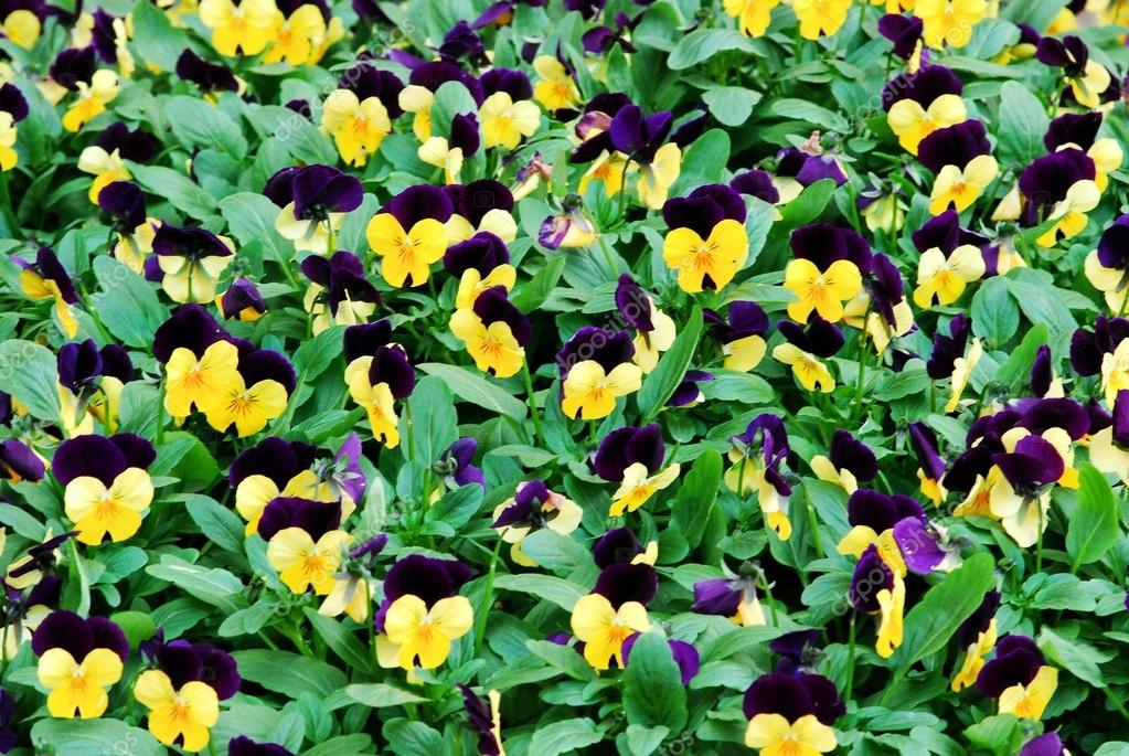 Floral background: lot of blue yellow pansies
