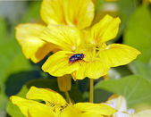 Fly on yellow flower, during one summer (France Europe)