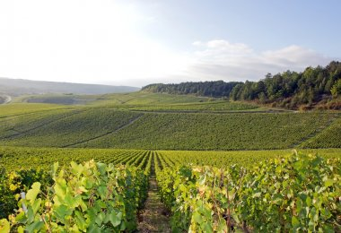 Vineyards of Chablis, vines near Auxerre, Burgundy (France)
