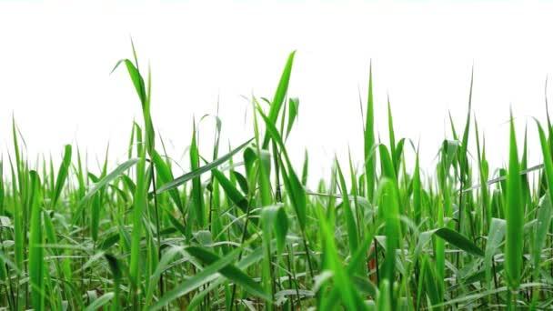 Green reeds on bright white misty sky