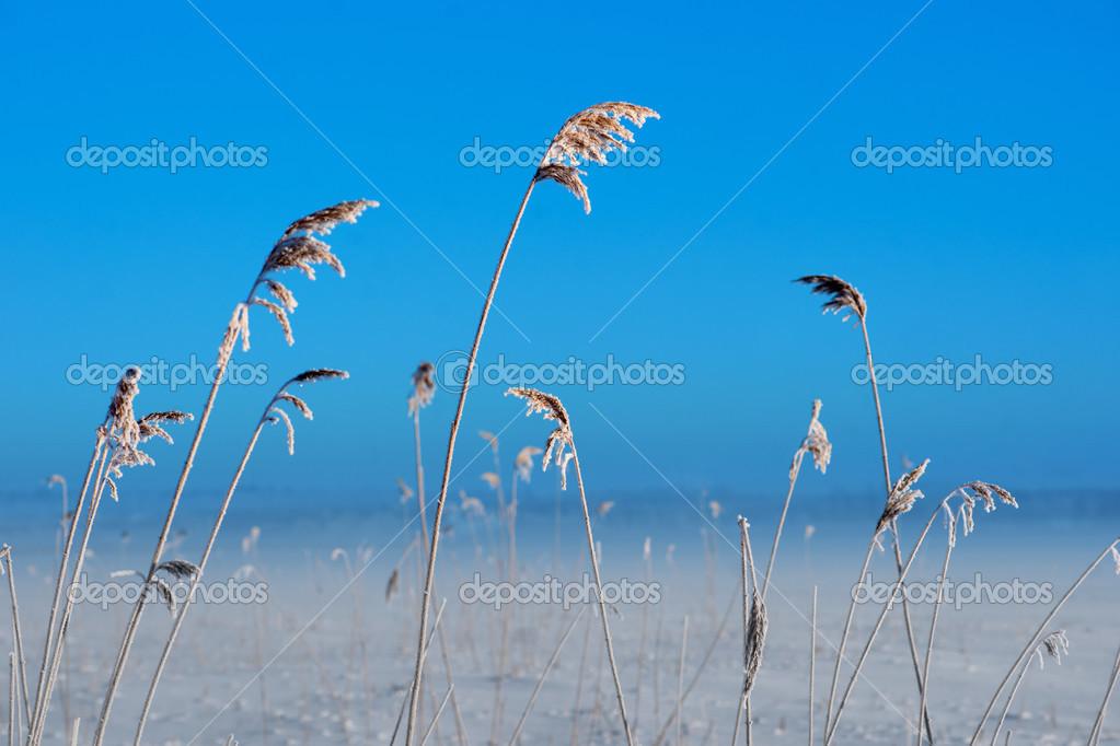 Bevroren riet u2014 stockfoto © pinkbadger #28028885