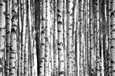 Fotografie břízy v černé a bílé