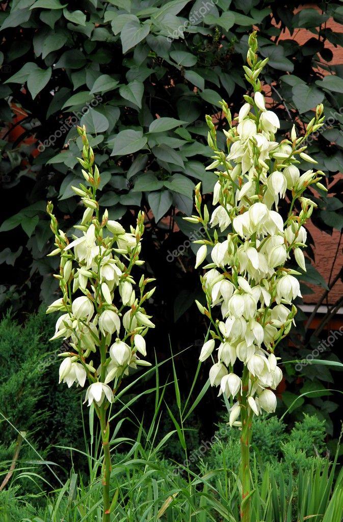 Yucca Pflanze mit weißen Blüten — Stockfoto © Manka #27403409