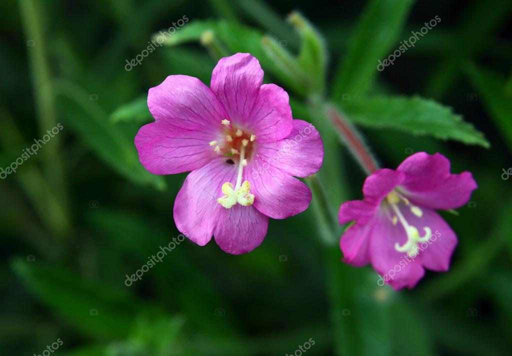 Willowherb with lila flowers