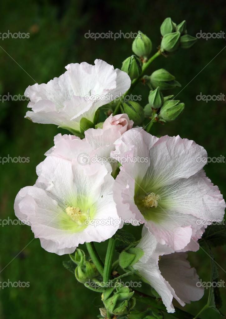 Fleurs blanches de mauve plante de jardin photo 27749867 for Jardin de fleurs blanches