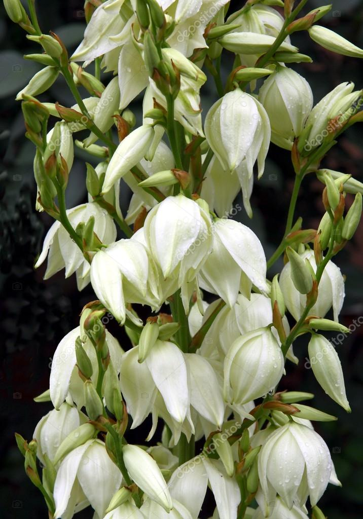 Yucca plant with white flowers stock photo manka 29500617 yucca plant with white flowers stock photo mightylinksfo